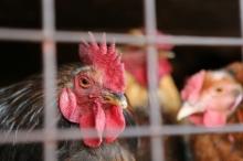 إنفلونزا طيور جديد يقتل البشر ولا يميت الطير!