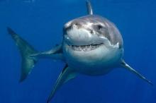 ما هي الجنسية التي تفضل أسماك القرش التهامها؟؟