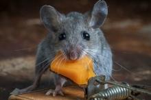 هل الفئران تحب الجبنة حقاً أم هو خرافة وخطأ ...
