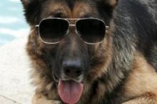 هذه حيوانات بثروات خرافية يتصدرها كلب بـ375 مليون دولار