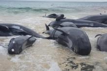 حيتان طائرة تنتحر جماعياً على شاطئ غرب أستراليا.. فيديو صادم ...