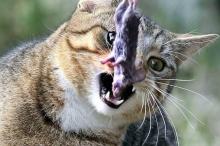 """لهذا تتمسك القطط بهذه العادة """"المزعجة""""؟"""