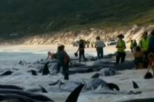 شاهد.. جنوح أعداد غير مألوفة من الحيتان إلى شواطئ أستراليا