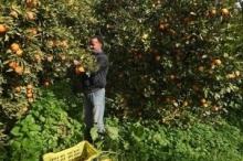 تونس: نصف محصول البرتقال يواجه الاتلاف!