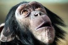 أيهما أنظف: سريرك أم سرير الشيمبانزي؟