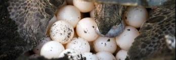 """العثور على بيض سلحفاة """"ملكية"""" شبه منقرضة"""