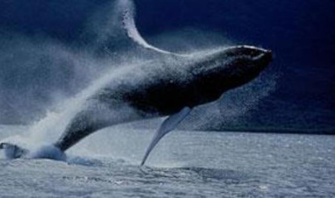 بالفيديو...الحوت الأحدب النادر يظهر لأول مرة في مياه البحر الأحمر وتخوفات من استيطانه في المنطقة