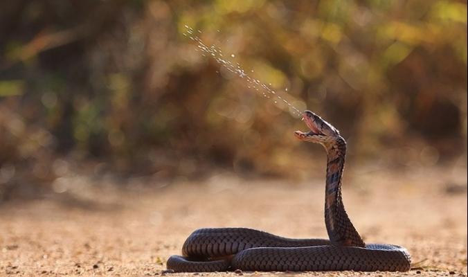 هل الثعابين في مأمن من السم الخاص بها؟