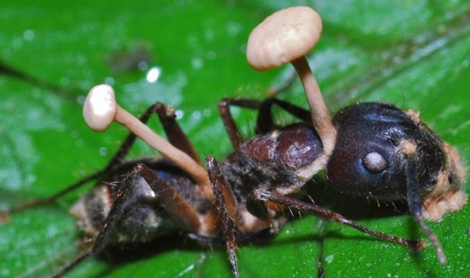 النمل الزومبي .. هكذا يتحولون إلى أحياء ميتين ويتحركون بشكل يخدع زملائهم بالمستعمرة