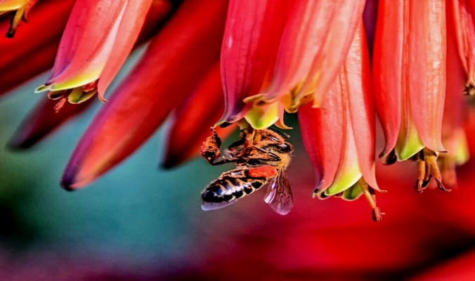 حالة فريدة.. جين واحد فقط يحدث التوالد العذري في نحل العسل