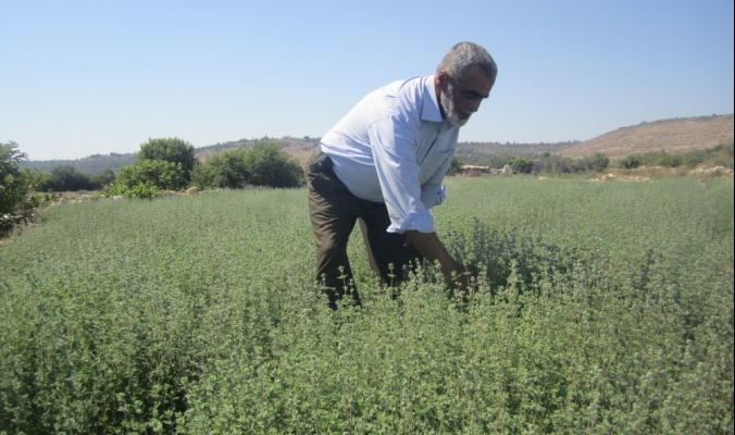 """غذاء كل بيت في فلسطين """"الزعتر"""" تحت مرمى الكيماويات"""