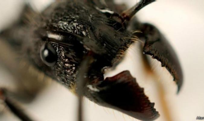 أكثر لدغات الحشرات إيلاما في العالم