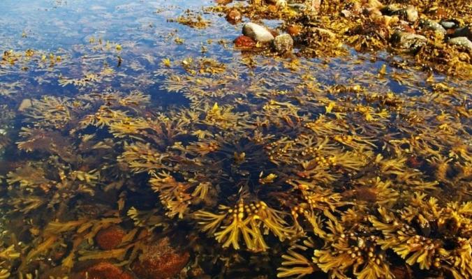 الأعشاب البحرية تتمدد آلاف الكيلومترات بالأطلسي.. ما السر؟