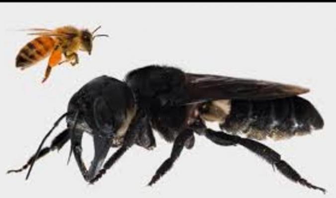العثور على أكبر نحلة في العالم