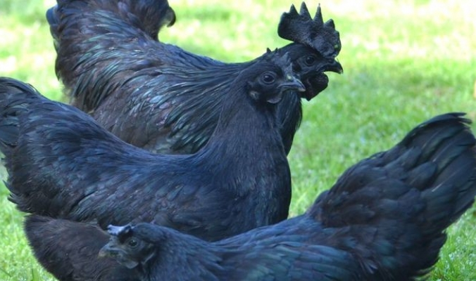 دجاجات سوداء نادرة تثير هوس العالم