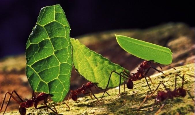 هل تعلم ما الذي يفعله النمل في أوراق الشجر التي يحملها على ظهره؟!
