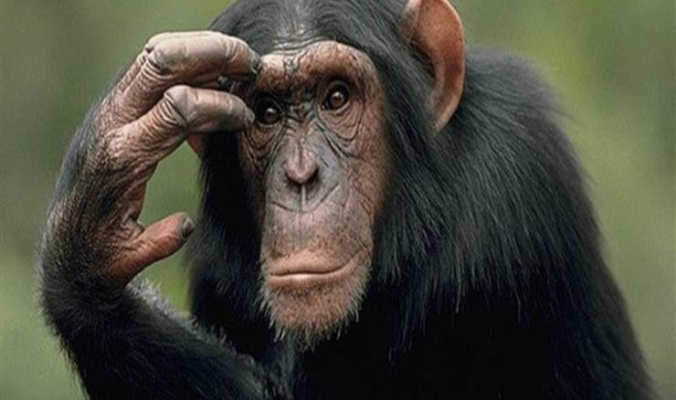 قدرة تحكم الشامبانزى مثل الإنسان فى مغريات الطعام تدل على ذكائه