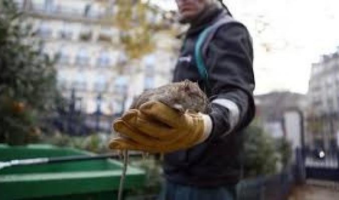 فئران ضخمة تهدد ولاية أمريكية