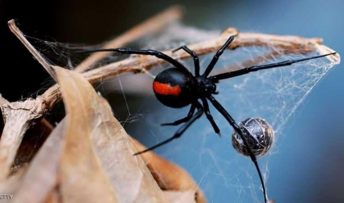 """العلم يحل """"لغز"""" قوة شباك العنكبوت"""
