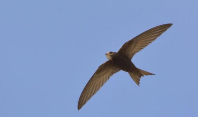 هذا الطائر لا يهبط على الأرض إلا للتزاوج