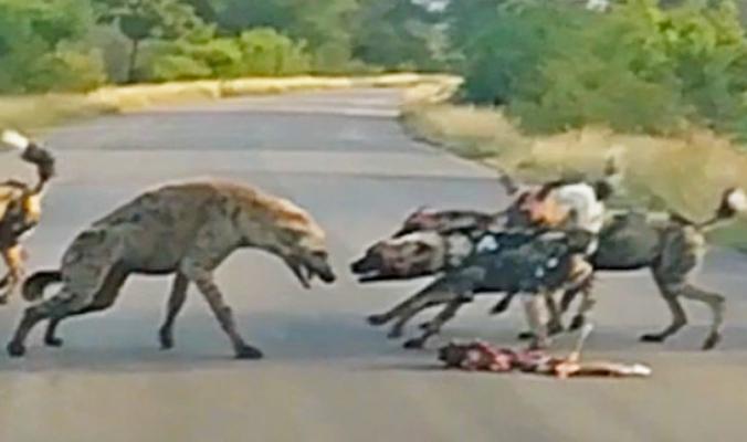 بالفيديو| معركة بين الكلاب البرية وضبعين مرقطين.. فمن سيفوز؟