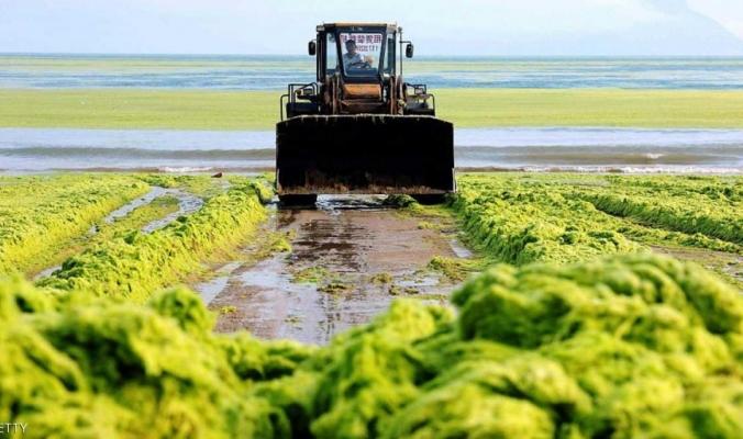 """الطحالب أصبحت """"أهم من النفط """"في كوريا الشمالية"""