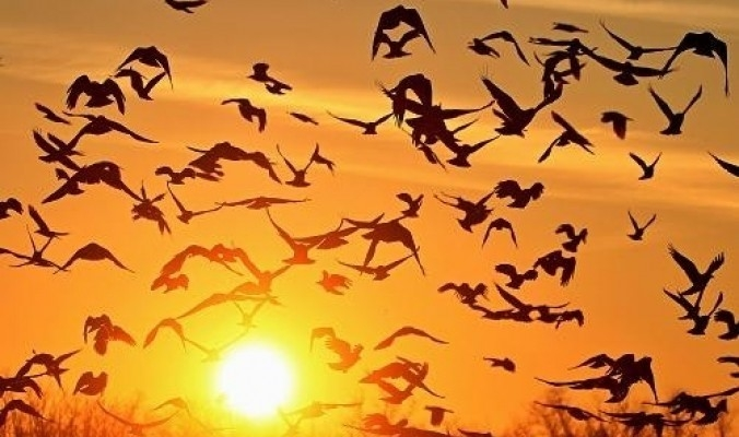 دلالة على قرب فصل الخريف - بدء موسم هجرة الطيور في سماء فلسطين