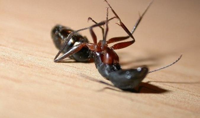 ما هو سر دفن النمل لبعضه بعد يومين من الموت؟