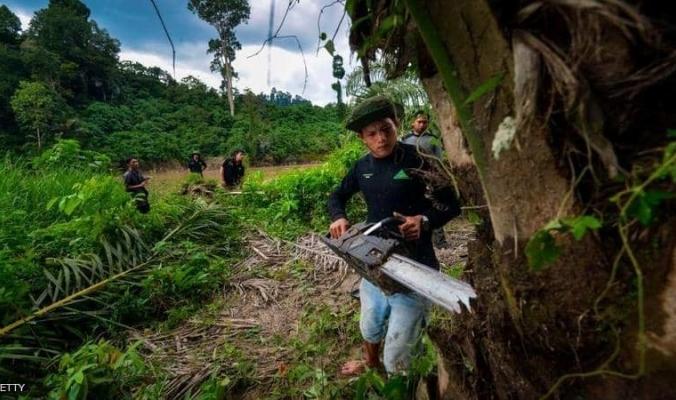 أغلى شجرة بالعالم.. الكيلوغرام بـ100 ألف دولار