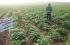 كسراً للحصار... غزيّون ينجحون في إنتاج أصناف جديدة من البطاطس