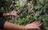 فاكهة الفيجوا تقطف لأول مرة في غزة بعد 10 سنوات من التجارب