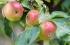 طقس فلسطين يأخذكم في رحلة إلى مهد التفاح في العالم