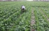 الضربات من جميع الاتجاهات على مزارعي غزة وآخرها رش إسرائيل لمبيدات كيميائية تقضي على محاصي ...