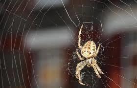 لماذا عليك الا تقتل عنكبوتًا في منزلك أبدًا؟