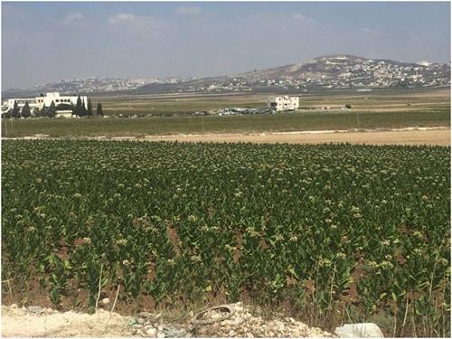كانت يعبد وصارت كل الضفة الغربية: زراعة التبغ …عنوان فشل
