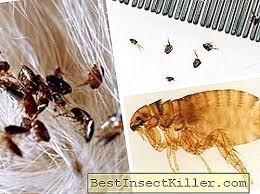 المُبيدات ليست الطريقة الوحيدة.. طرق طبيعية للتخلص من البراغيث بالمنزل