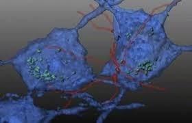 اكتشاف علمي مفاجئ: الميتوكوندريا حرارتها أعلى من باقي أجزاء الجسم