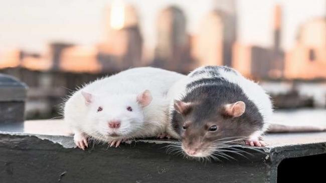 انتشار واسع لعدوى قاتلة تنقلها الفئران!