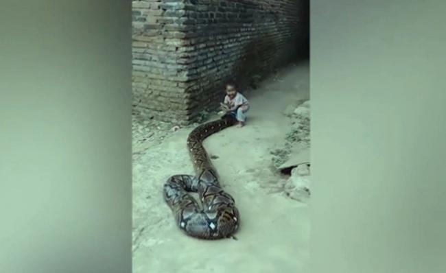 | شاهد | هنا إندونيسيا | لحظة مرعبة لطفل يداعب ثعبانا ضخما: هذا النوع يبتلع البشر