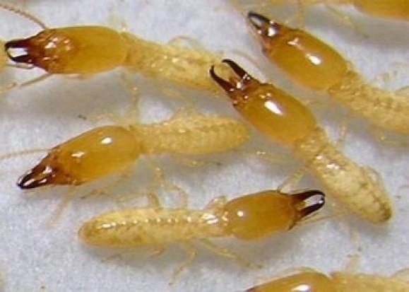 تأثير تناول النمل في علاج التهاب المفاصل !!!!
