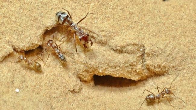 تسبق الفهد وتعيش بتونس.. اكتشاف أسرع نملة في العالم