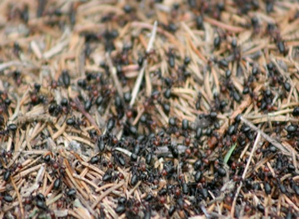 إكتشاف نوع انتحاري من النمل.. يفجر نفسه ليقتل الأعداء