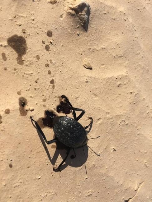 خنفساء تختنق بالنفط بعد حادثة التسرب النفطي جنوب فلسطين