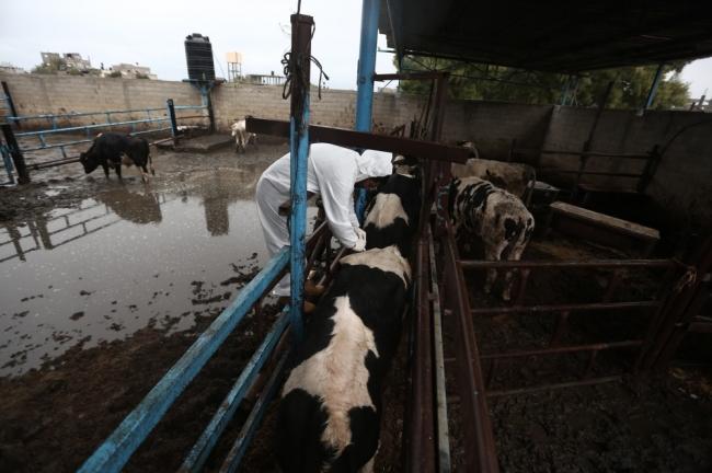 """مرض """"الحمى القلاعية"""" سريع الانتشار يفتك بذوات اللحوم الحمراء في غزة"""