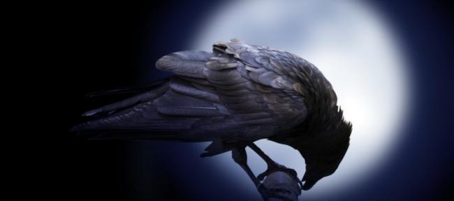 تصيح على موتاها حداداً وتبني الأدوات للوصول إلى مبتغاها.. الغربان أذكى الطيور
