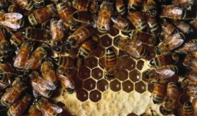 يعيش على سطح الارض منذ 65 مليون سنة...النحل أمة راقية وقدوة للبشر في العمل