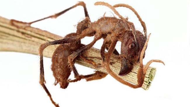 أسرار قبضة الموت.. كيف يسيطر الفطر القاتل على النمل
