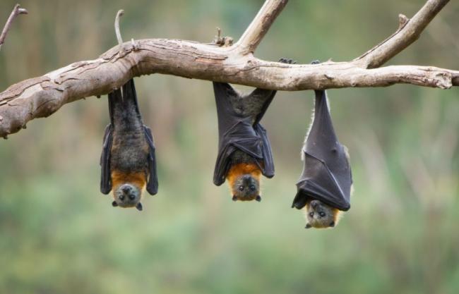 جسدها مستودع طبيعي لكورونا وإيبولا وسارس وغيرها.. فكيف تعيش الخفافيش بهذا الكم من الفيروسات دون أن تصاب بالمرض؟