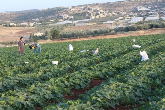 جنين: خيار بلا عمّال والمزارعون يشّكون