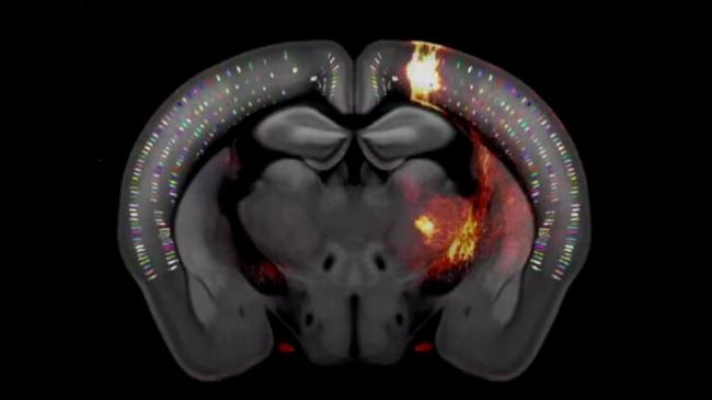 في إنجاز لا يقدّر بثمن.. فيديو ثلاثي الأبعاد لخريطة هائلة تكشف عن دماغ فأر بالكامل!